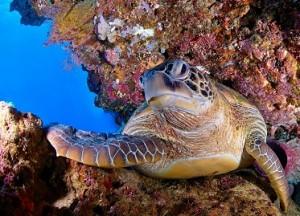 Cocotinos Manado Sea Turtle