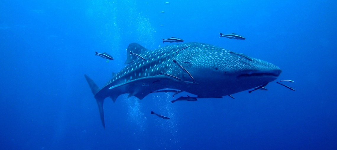 WhaleShark-with-Remora